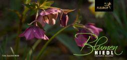 Blumen Hiedl